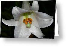 The Lone Lily Greeting Card
