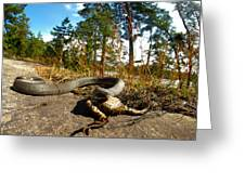 The Lunch Of Grass Snake Greeting Card