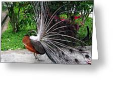 The Many Quills Of A Peacock Greeting Card