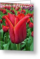 The Nederlands Tulip Festival 1 Greeting Card