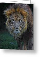 The Old Lion Greeting Card