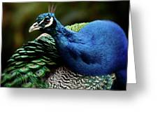 The Peacock - 365-320 Greeting Card