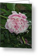 The Peony In Mears Park On A Rainy Day Greeting Card