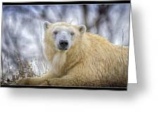 The Polar Bear Stare Greeting Card