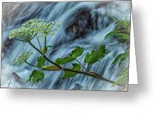 The Apiaceae Greeting Card