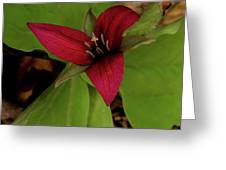 The Red Trillium Greeting Card