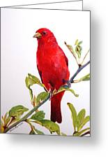 The Scarlett Tanager  Greeting Card