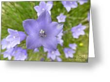 The Scottish Bellflower Greeting Card