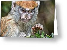 The Stare A Baby Patas Monkey  Greeting Card