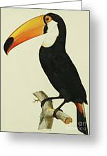 The Toco Toco Toucan  Ramphastos Toco Greeting Card