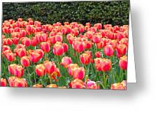 The Tulips Are Coming Greeting Card