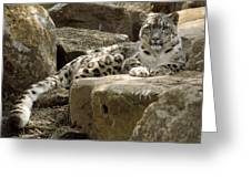 The Watchful Stare Of A Snow Leopard Greeting Card