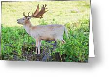 The White Stag 2 Greeting Card