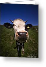 The Wideangled Cow  Greeting Card
