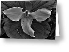 The Open Trillium Bw Greeting Card