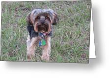 The Yorkshire Terrier Greeting Card