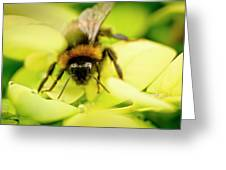 Thirsty Bumble Bee. Greeting Card