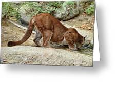 Thirsty Puma  Greeting Card