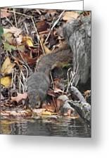 Thirsty Squirrel Greeting Card