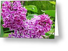 This Lilac Has Flowers With A White Edging.1 Greeting Card