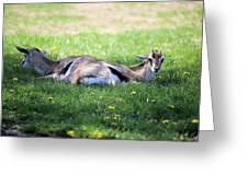 Thompson Gazelles Greeting Card