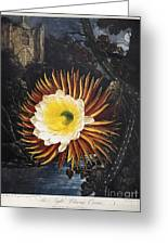 Thornton: Cereus Greeting Card
