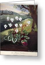 Thornton: Cyclamen Greeting Card