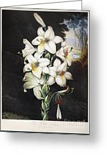 Thornton: White Lily Greeting Card