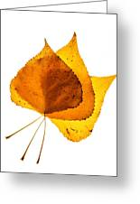 Three Backlit Cottonwood Leaves In Autumn On White Greeting Card