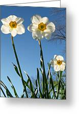 Three Backlit Jonquils From Below Greeting Card