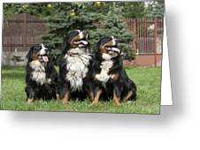 Three Bernese Mountain Dog Portrait Greeting Card