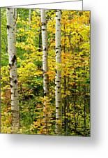 Three Birch Greeting Card