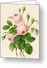 Three Centifolia Roses With Buds Greeting Card