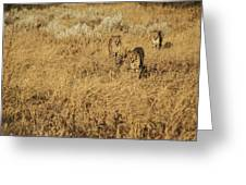 Three Cheetahs Greeting Card