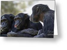 Three Chimpanzees Socializing  Greeting Card