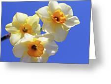 Three Daffodils Greeting Card