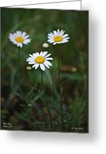 Three Daisy's Greeting Card