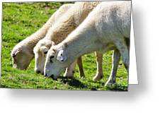 Three Ewes Greeting Card