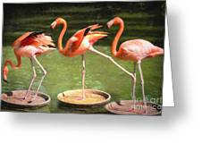 Three Flamingos Greeting Card