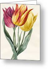 Three Lily Tulips  Greeting Card