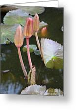 Three Lotus Buds Greeting Card