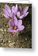 Three Lovely Saffron Crocus Blossoms Greeting Card