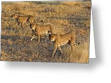 Three Cheetahs Greeting Card