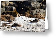 Three Mourning Doves Greeting Card