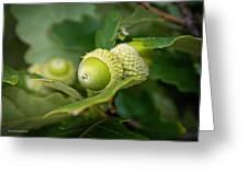 Three Oak Acorns Greeting Card