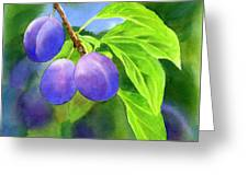Three Purple Plums With Background Greeting Card