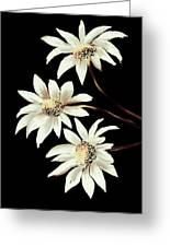 Three Spring Daisies Greeting Card