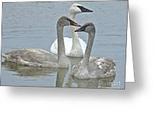 Three Swans Swimming Greeting Card