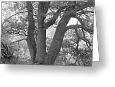 Three Trunk Tree, Whitley Mill Greeting Card
