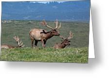 Three Tule Elk Bulls In Meadow Greeting Card